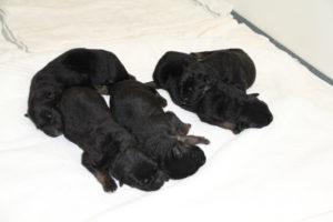 5-sierra-pups-web
