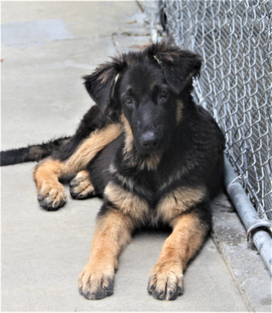 Pups for sale | Pendragon Acres U S  K-9, Inc